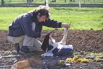 Čáp měl zraněné křídlo. Musel proto putovat do Záchranné stanice volně žijících živočichů v Buchlovicích.
