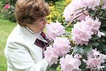 Rododendrony. Krásu jejich květů v zámeckém parku střídají kvetoucí fuchsie