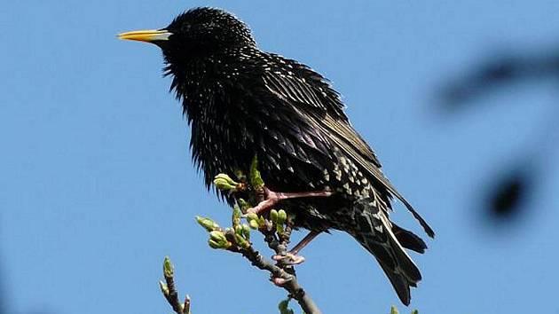 Špaček patří mezi druhy ptactva, které se řadí mezi stěhovavé.