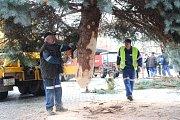 V Uherském Hradišti ve středu 22. listopadu dopoledne vztyčili vánoční strom. Jedná se o třináctimetrový smrk pichlavý, který pochází z ulice Zahradní na sídlišti Štěpnice.