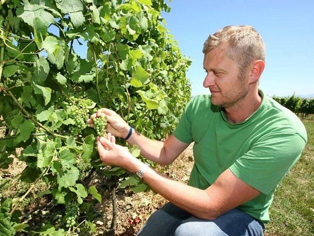 Vinař Zbyněk Vaďura kazuje úžeh vinné révy ve viniční trati Míšky na hroznech odrůdy Ryzlink Rýnský.