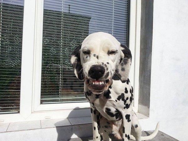 AGÁTKA. Dalmatinka spermanentním úsměvem.