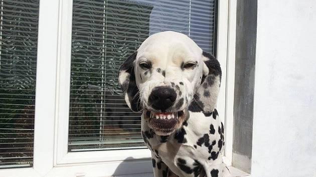 AGÁTKA. Dalmatinka s permanentním úsměvem.