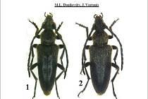 Janis Vartanis z Uherského Brodu objevil zcela nový druh tesaříka Vadonia unipunctata ikariaensis. Pod číslem 1 je sameček a pod číslem 2 samička tohoto druhu.