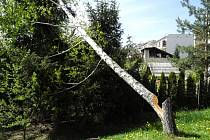 U bytového domu v Šumicích noční dřevorubec pokácel břízu, která poté nekontrolovaně spadla na sousední pozemek.