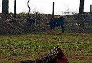 V hektarové obůrce na Modré se rozkoukávají vyšlechtění pratuři.