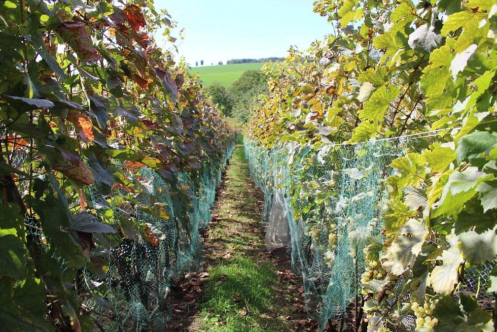Před špačky a kosy chrání vinohrad sítě.