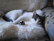 BOHUNKA. Oblíbená odpolední siesta v kožešince.