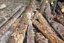 Kůrovcem napadené dřevo po asanaci.