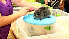 První slovácká výstava morčat v Polešovicích