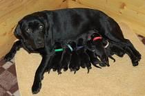 Ariska stihla i při svém vytížení loni porodit osmero malých retrívrů.
