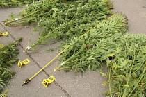 Dvoumetrové keře konopí zabavili policisté v Uherském Hradišti.