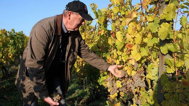 Deště dělají některým vinařům těžkou hlavu. Hrozny jim hnijí