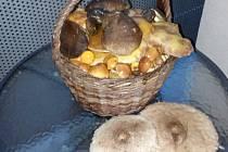 Zapršelo a houby rostou, jako divé, podívejte se, co v Chřibech  nasbírala Hradišťanka Ludmila.