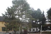 Vzrostlé borovice na návsi prý působí obyvatelům jarošovské návsi nemalé problémy.