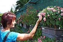 Fuchsie v zámecké zahradě v Buchlovicích