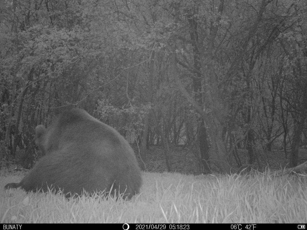 Medvěda v katastru Mistřic zachytila fotopast tamního myslivce Martina Horňáka.