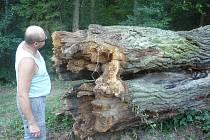 V těchto dnech přišly nejen Březolupy, ale i celé Hradišťsko o unikát v podobě čtyřsetletého dubu.