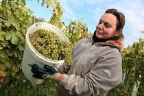 Vinobraní v rodinném vinařství Vaďura v Polešovicích. Viniční trať Míšky, odrůda Floriánka
