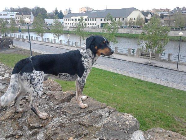 MARLEY. Psí štramák se při procházce zastavil na přerovských hradbách a zadíval se do okolí města.