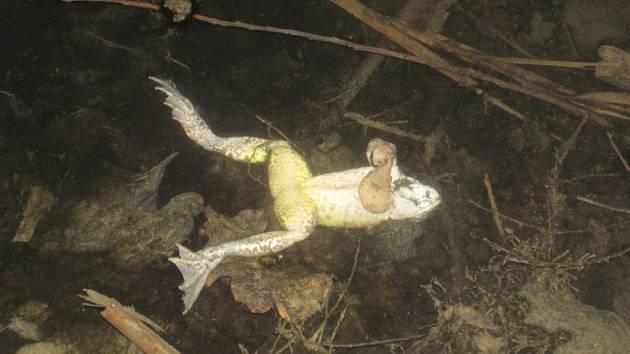 Mrtvé žáby a ryby v nádrži Lubná u Korytné