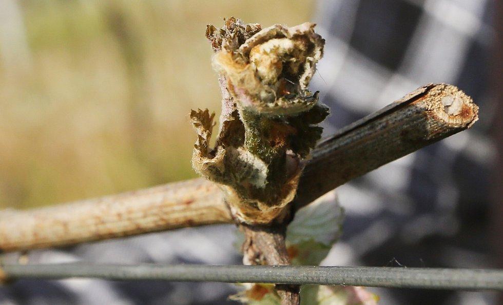 Vinná réva poškozená mrazem. Ilustrační foto