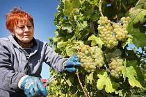 Vinobraní v rodinném vinařtví Vaďura v Polešovicích.  Odrůda Rulanské bílé viniční trať Míšky