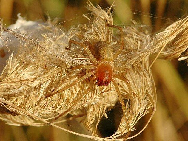 Zápřednice jedovatá patří mezi jedovaté pavouky, kteří se z tropických oblastí rozšířili i na Slovácko