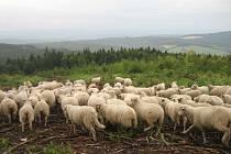 Stádo ovcí pasoucí se v Bílých Karpatech. Ilustrační foto.