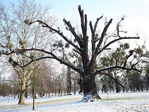 Ořešák černý - Evropský strom roku 2018 zámecký park v Kvasicích.