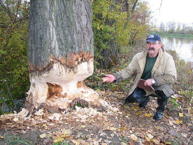 Stromy, které spadnou do vody, rybářům znesnadňují práci. Ladislav Grebeníček ukazuje, co bobři napáchají na stromech.