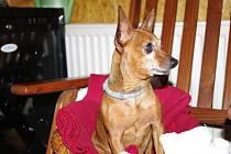 Krysařík paní Machálkové, kterého zakousli psi, kteří vnikli na její zahradu.