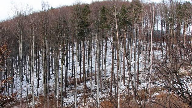 Do letitých bukových porostů nebylo radno v době únorových mrazů vstupovat.