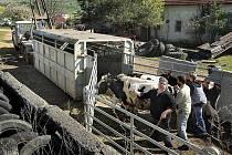 Dobytek z farmy v Břestku. Ilustrační foto.