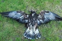 Příčina smrti orla skalního v lese u Častkova není prozatím známá.