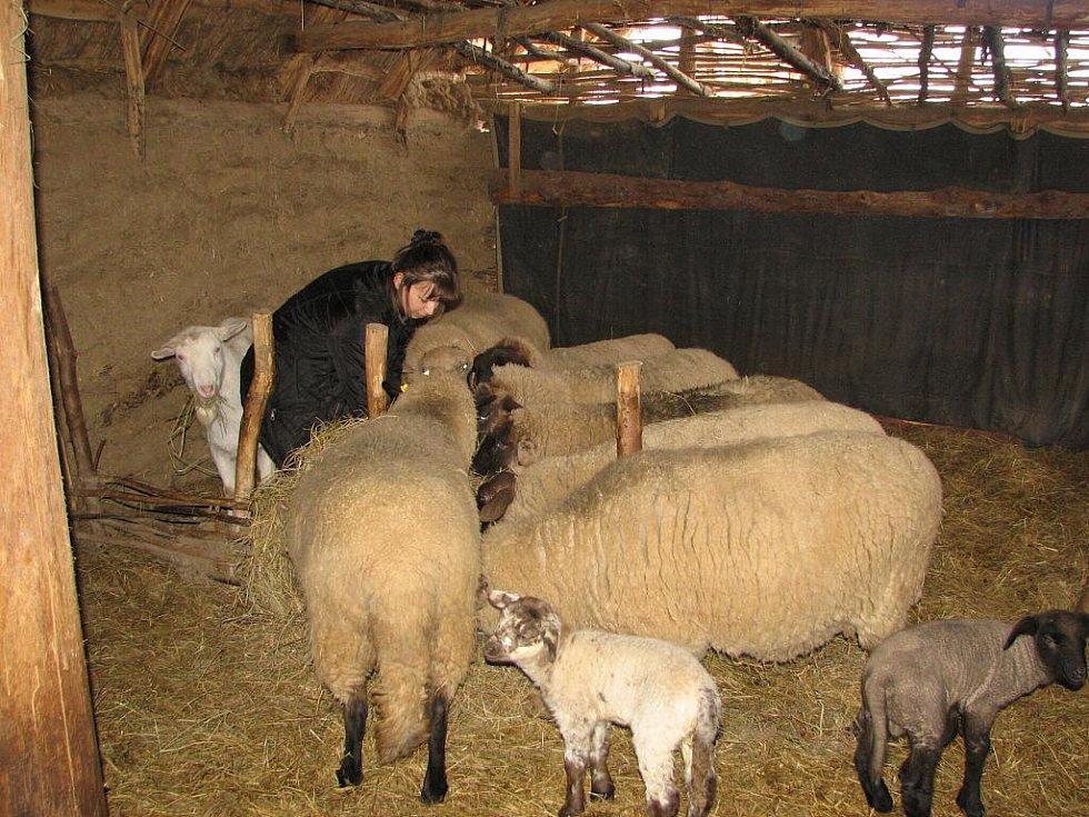 Berušky, jak ovcím ve skanzenu říkají, není třeba ke krmení moc pobízet.