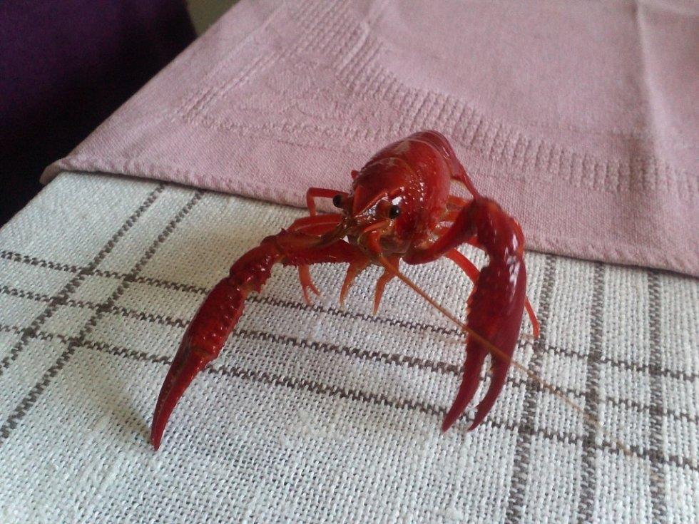 EVŽEN. Červený rak je vyfocen, když jsme ho dali na stůl. Byl pěkně naštvaný a řádil.