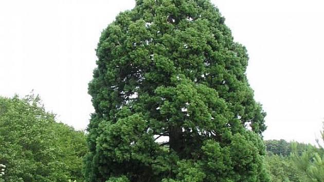 Navrhne někdo opět sekvojovec obrovský z Chabaní do soutěže Strom roku 2010?