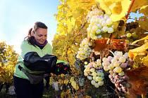 Vinobraní v rodinném vinařtví Vaďura v Polešovicích.Viniční trať Míšky  odrůda Ryzlink rynský