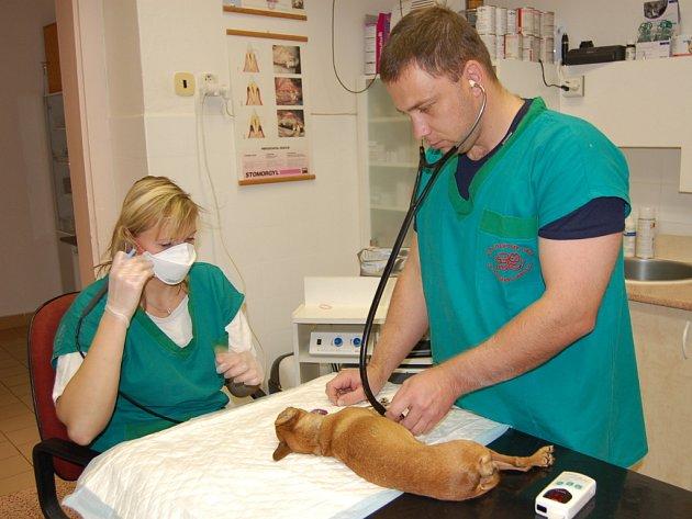 Zvířecí infekce tvoří v ordinaci staroměstského veterináře Františka Luňáka zhruba třicet až pětatřicet procent případů.