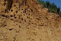 I letos se v polešovické pískovně zahnízdily břehule říční.