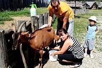 Renata Hrabalová se musí postarat o zvířata, která obveselují návštěvníky skanzenu. Podojit kozy není pro ni problém.
