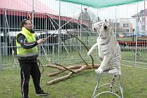 Principál Berousek cirkusu Sultán Karel Berousek s bílým bengálským tygrem Alexem.
