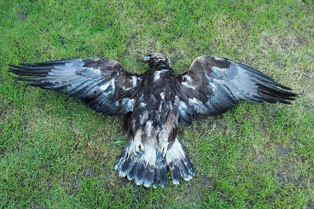 Mrtvého orla skalního našli vloni u Částkova.