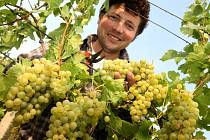 Vinobraní v rodinném vinařství Nikodém Míša v Polešovicích.  Viniční trať Novosady. Sběr odrůdy Muller Thurgau. Na snímku Nikodém Míša.