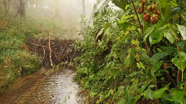 Hlodavci si postavili hráz mezi Starým Městem a Velehradem na Salašském potoku.
