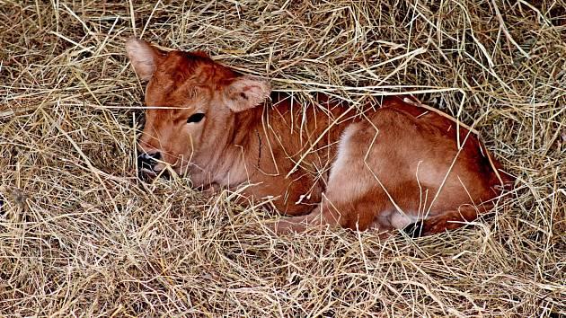 V hektarové obůrce na Modré přišlo na svět pratuří mládě, první na Moravě.