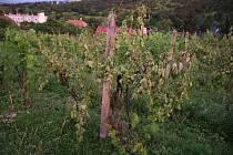Vandal na Buchlovicku zdevastoval vinohrad. Poškodil na 600 keřů vinné révy.
