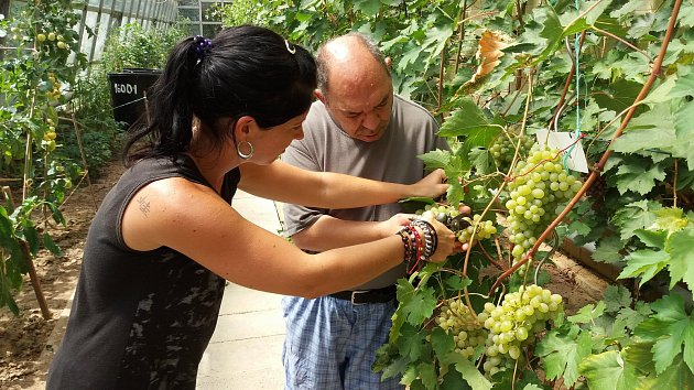 Na Velehradě uspořádali první ročník Skleníkového vinobraní.