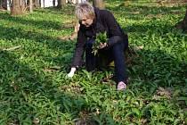 V lesích pod Velkou Javořinou roste medvědího česneku opravdu hodně.